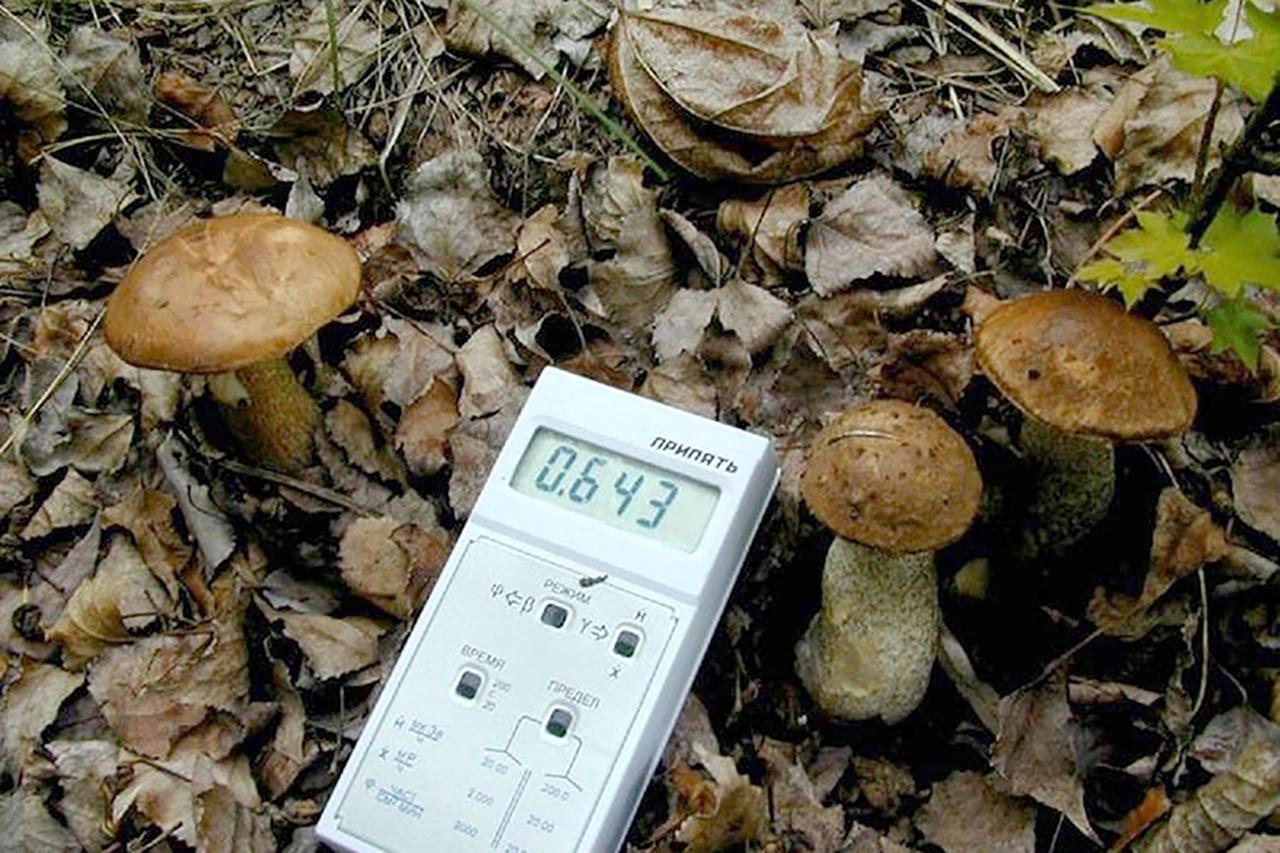 Превышение допустимых уровней содержания цезия-137 в грибах и ягодах зафиксировано почти во всех районах